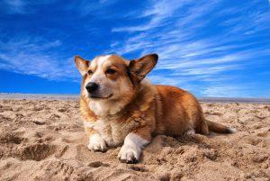 a corgi laying on sand below a vibrant blue sky