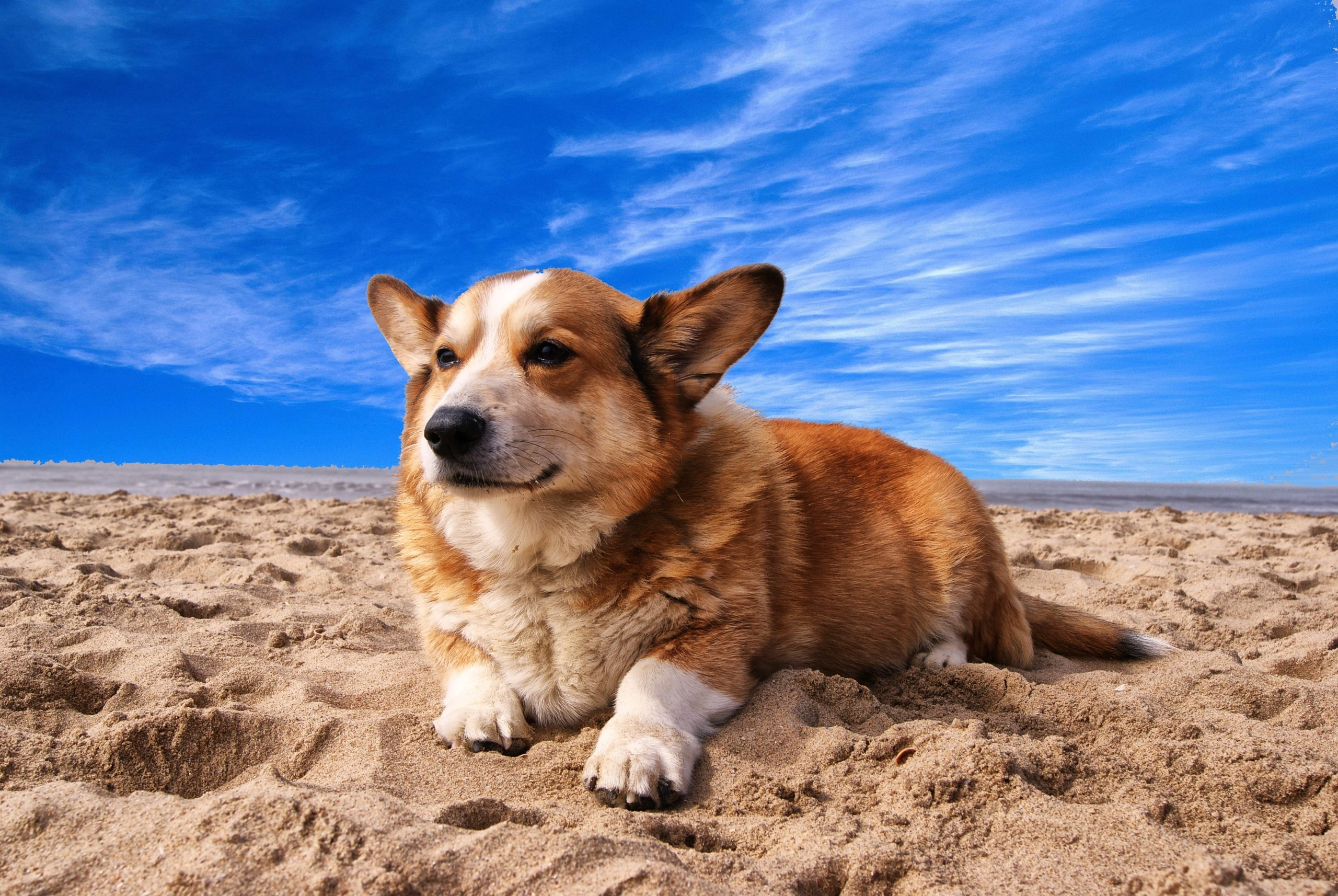 a corgi laying on sand below a vibrant blue sky