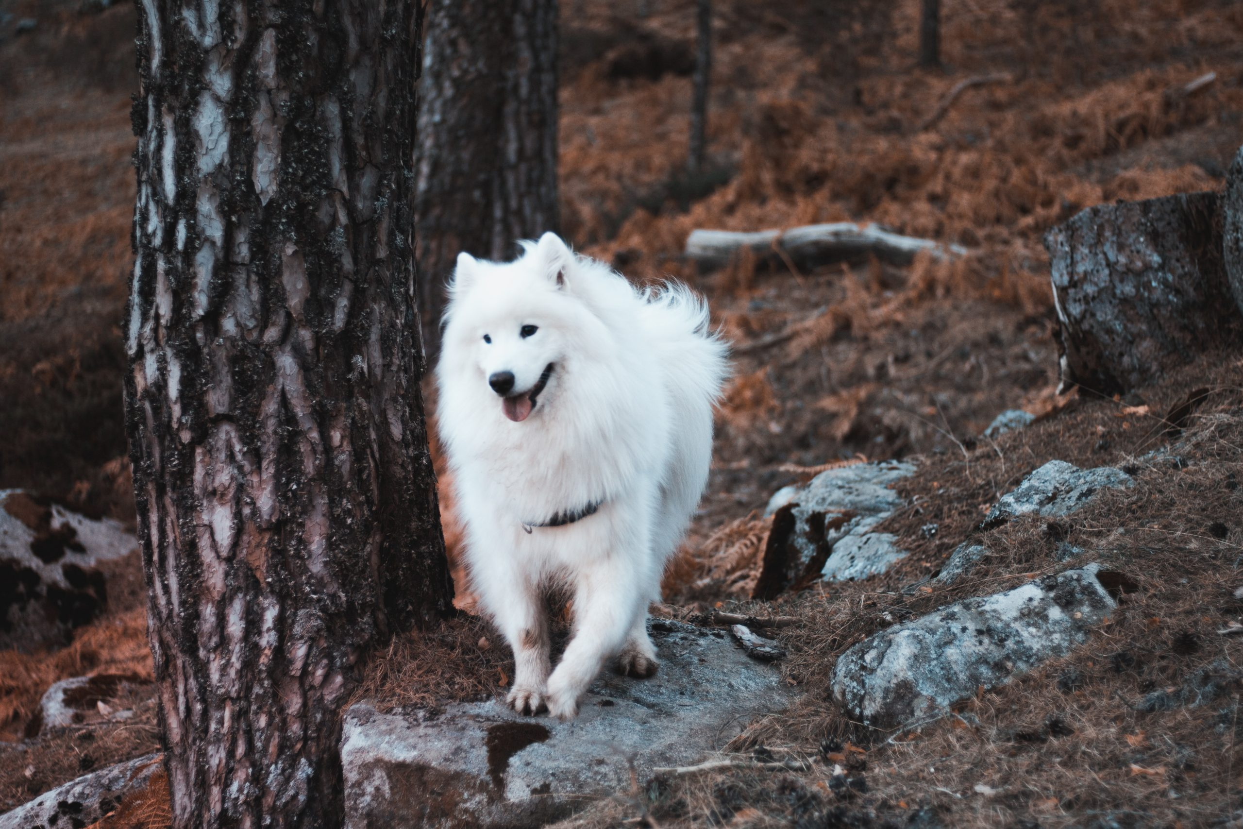 sammoyed dog in the woods