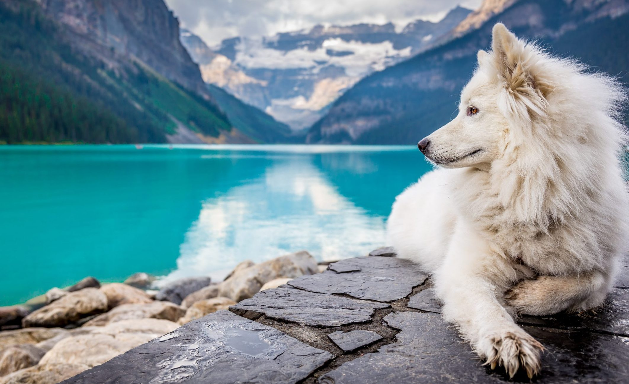 samoyed dog sitting overlooking a placid turquose lake with mountains in the background