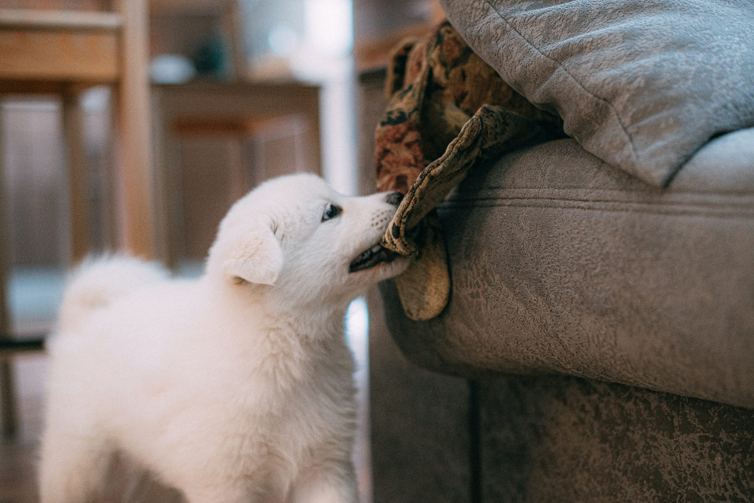 samoyed puppy biting something on the couch