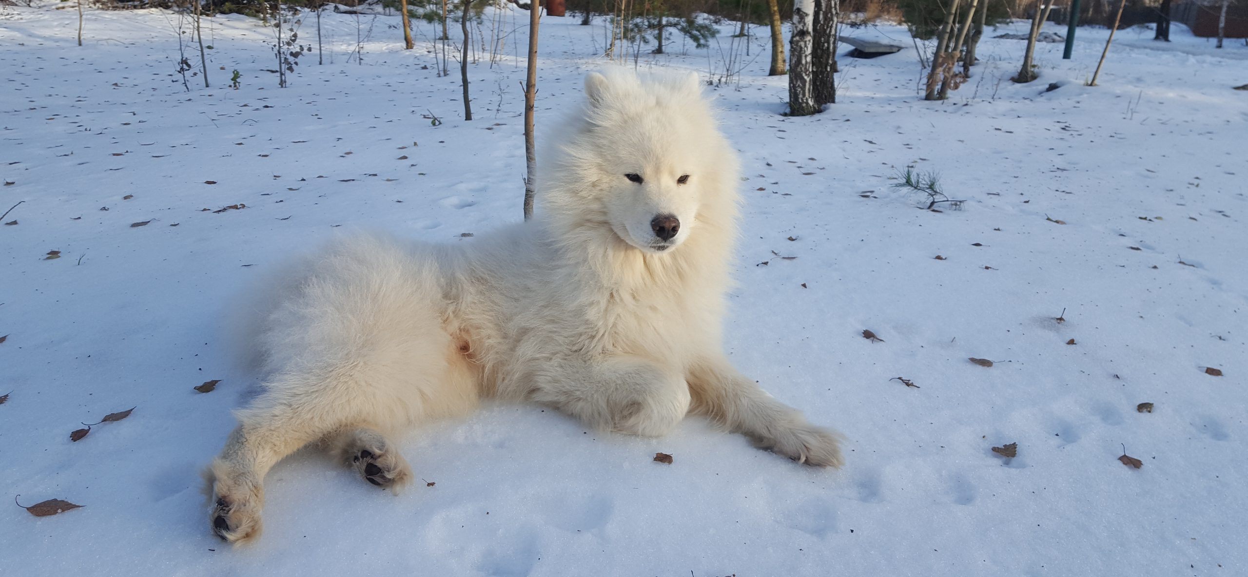 samoyed dog laying in the snow