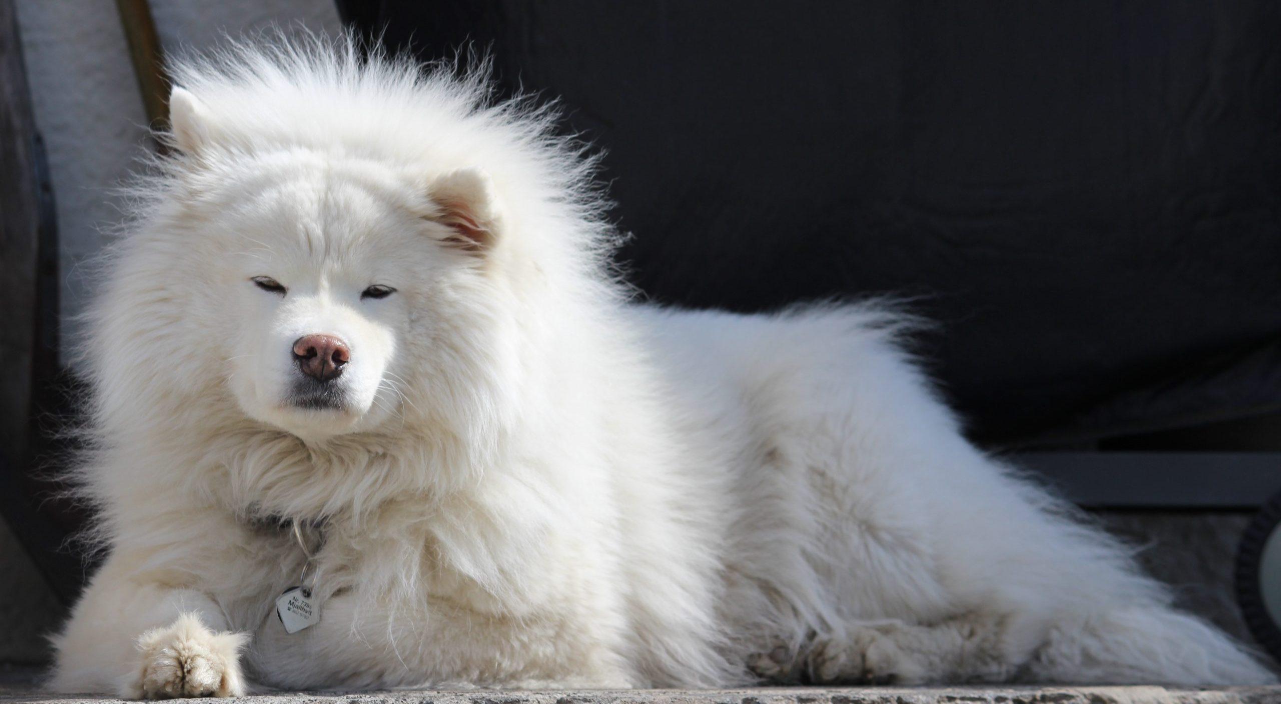 an adult samoyed dog laying down